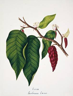Chocolate Cocoa Plant Art Print by Natural History Museum, London/science Photo Library