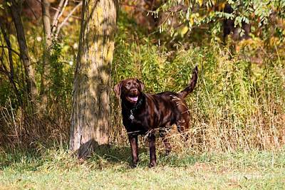 Photograph - Chocolate Lab Cuteness by Janice Byer