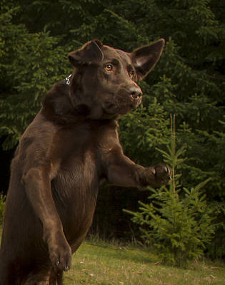 Photograph - Chocolate Lab Drama by Jean Noren