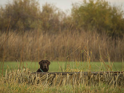 Photograph - Chocolate Lab In The Field by Jean Noren