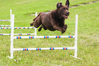 Agility Photograph - Chocolate Lab Jumping Agility Jump by Piperanne Worcester
