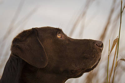 Photograph - Chocolate Lab Watching The Sky by Jean Noren
