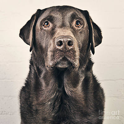 Chocolate Labrador Portrait Art Print by Justin Paget