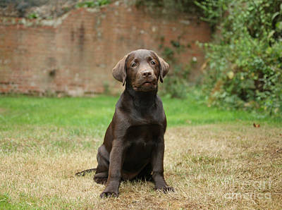 Lab Pup Photograph - Chocolate Labrador Pup Sitting by Mark Taylor