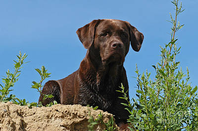 Photograph - Chocolate Labrador Retriever Dog Lying In Sand by Dog Photos