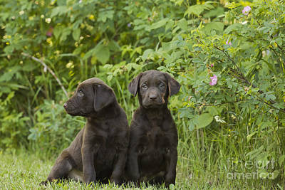 Chocolate Labrador Retriever Puppies Art Print by Linda Freshwaters Arndt