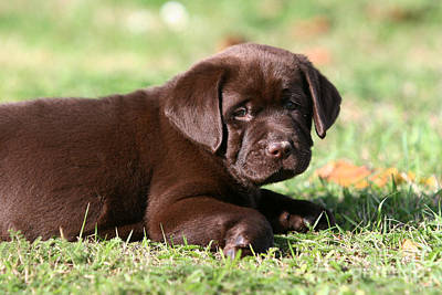 Photograph - Chocolate Labrador Retriever Puppy Lying In Grass by Dog Photos