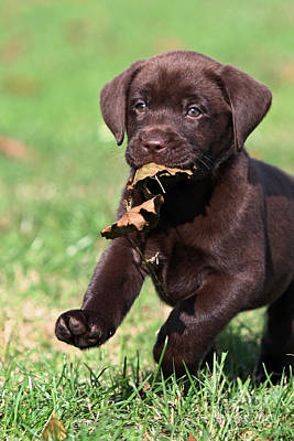 Photograph - Chocolate Labrador Retriever Puppy Playing With A Leaf by Dog Photos