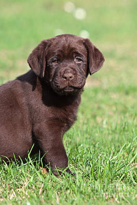 Photograph - Chocolate Labrador Retriever Puppy Sitting In Grass by Dog Photos
