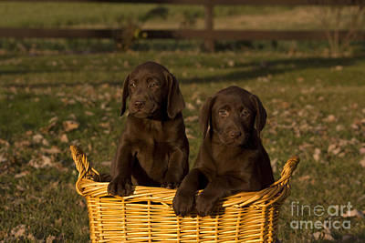 Chocolate Labrador Retriever Pups Art Print by Linda Freshwaters Arndt