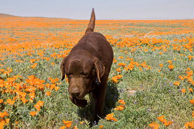 Chocolate Lab Photograph - Chocolate Labrador Retriever Walking by Zandria Muench Beraldo
