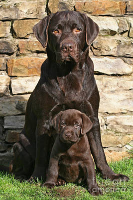 Photograph - Chocolate Labrador Retriever With Puppy by Dog Photos
