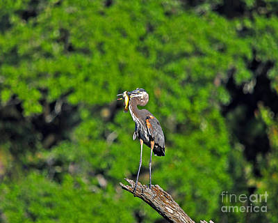Great Heron Photograph - Choice Catch by Al Powell Photography USA