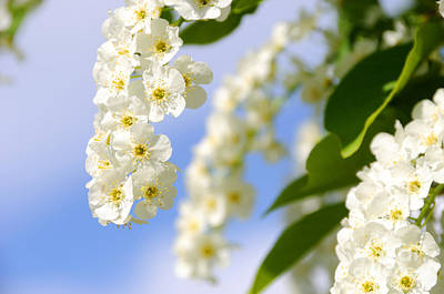 Choke Cherry In Bloom Art Print by Gary Whitton