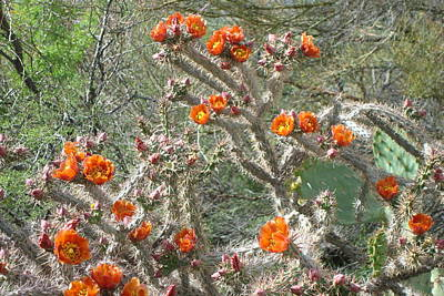 Photograph - Cholla Blooms by Susan Woodward