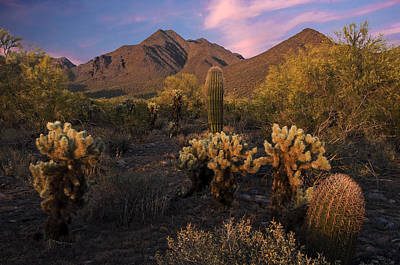Desert Sunset Photograph - Cholla Cactus At Mcdowell Mountains by Dave Dilli