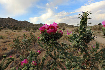Photograph - Cholla Cactus Blooming In The Sandia Foothills by Alan Vance Ley