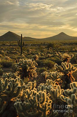 Photograph - Cholla Cactus Golden Hour by Tamara Becker