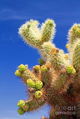Photograph - Cholla Cactus I By Diana Sainz by Diana Raquel Sainz