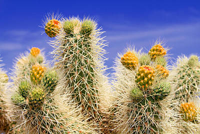 Photograph - Cholla Cactus In Joshua Tree By Diana Sainz by Diana Raquel Sainz