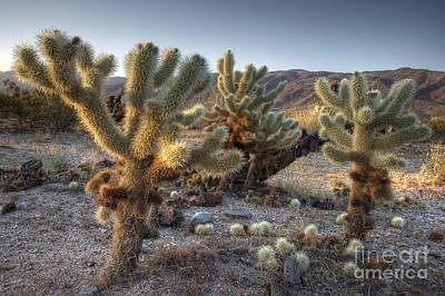 Cholla Cactus Art Print