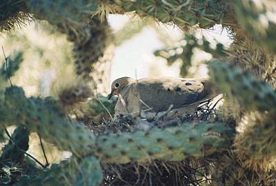 Photograph - Cholla Dove by Cheryl Fecht