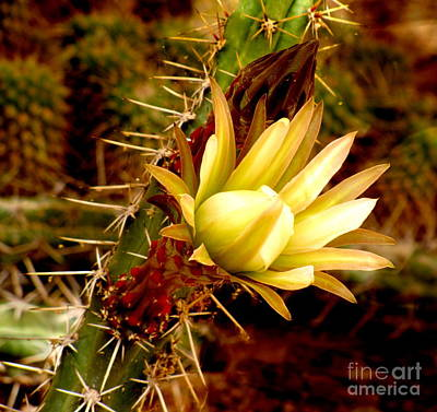 Photograph - Cholla In Bloom by Marilyn Smith