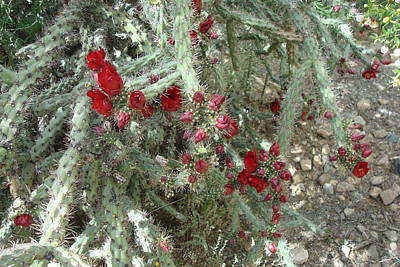 Photograph - Cholla In Bloom by Susan Woodward