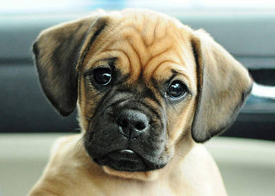 Puggle Photograph - Chooch by Lisa Phillips