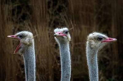 Ostrich Wall Art - Photograph - Chorale by Michel Romaggi