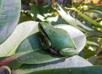 Photograph - Chorus Frog On A Rhodo by Cheryl Hoyle