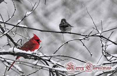 Photograph - Chrismas Cardinal by David Arment