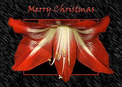 Photograph - Christmas Amaryllis by Carolyn Marshall