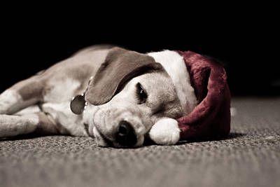 Photograph - Christmas Beagle by Paulina Szajek