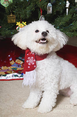 Photograph - Christmas Bichon Frise by Diane Macdonald