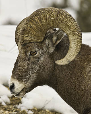 Christmas Big Horn Art Print