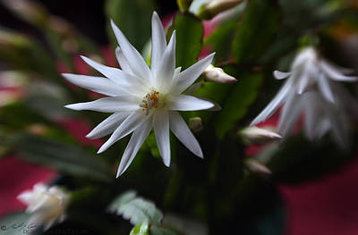 Photograph - Christmas Cactus Bloom by Beverly Cash