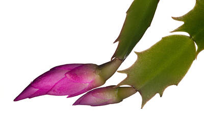 Winter Blooming Houseplant Photograph - Christmas Cactus Flower  by Steven Heap