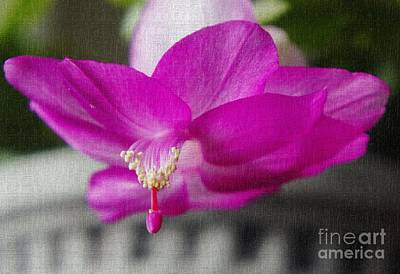 Orchid Cactus Photograph - Christmas Cactus by Lilliana Mendez