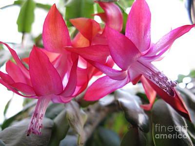 Photograph - Christmas Cactus Schlumbergera by Ausra Huntington nee Paulauskaite