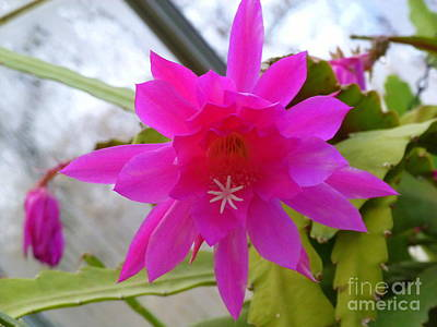 Christmas Cactus Star Art Print by Lingfai Leung