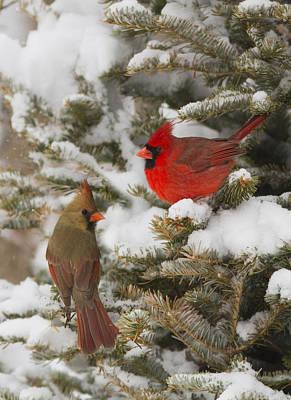 Animals Photos - Christmas card with cardinals by Mircea Costina Photography