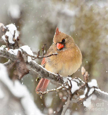 Photograph - Christmas Cardinal - Female by Kerri Farley