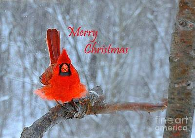Photograph - Christmas Red Cardinal by Nava Thompson