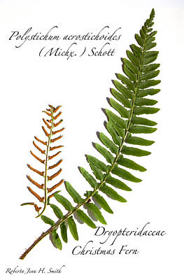 Photograph - Christmas Fern by Roberta Jean Smith