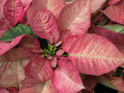 Art Print featuring the photograph Christmas Flower by Tammy Espino