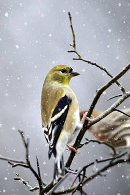Finch Mixed Media - Christmas Goldfinch by Christina Rollo