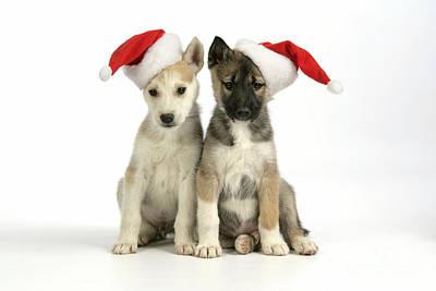 Christmas Huskies Art Print by John Daniels