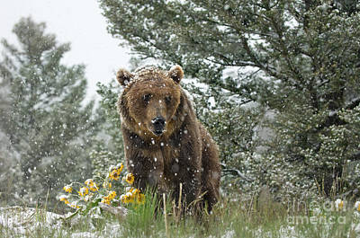 Bear Photograph - Christmas In June by Wildlife Fine Art