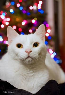 Photograph - Christmas Kitty by Tyra  OBryant